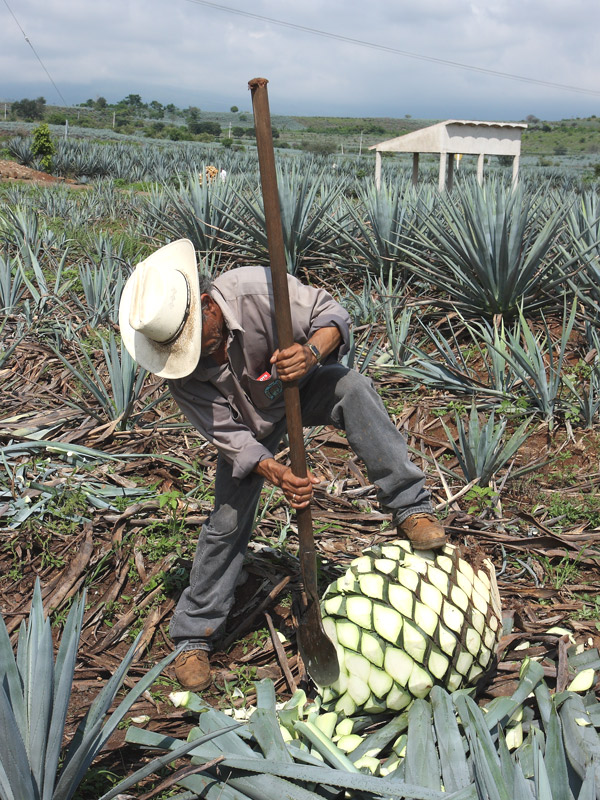 Lg True Blue Tequila Agave Plant Weber Azul Agave Tequilana